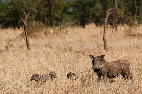 Safari Tag 4: Serengeti Pirsch